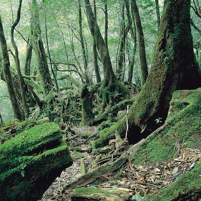 We go with contracted guide! World heritage Yakushima trekking tour image